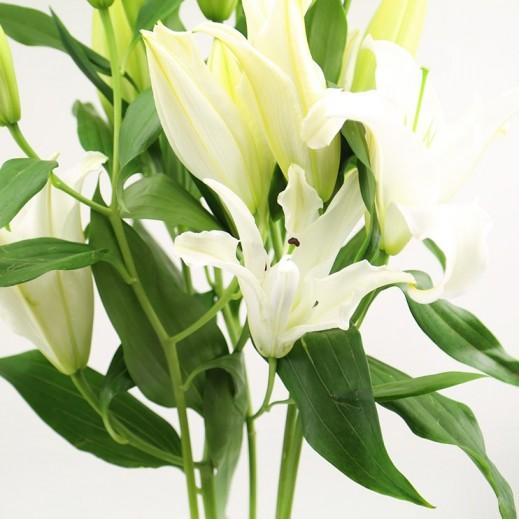 زهور الليلي البيضاء - يتم التوصيل بواسطة ورود A&K