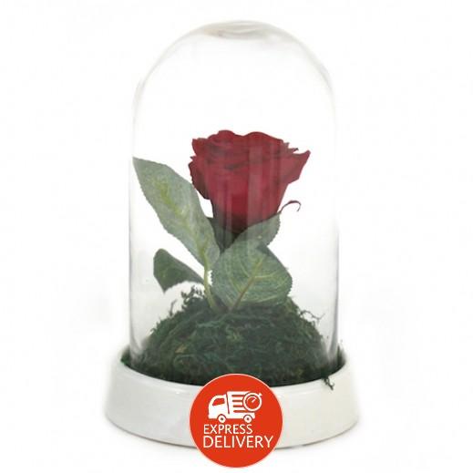 عنابي - وردة حمراء معمّرة (حجم صغير)