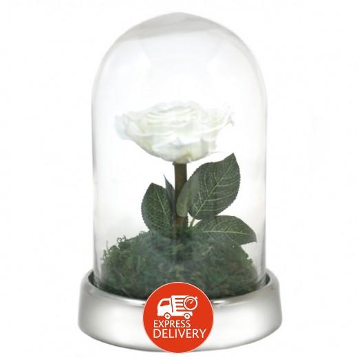 عنابي - وردة بيضاء معمّرة (حجم كبير)